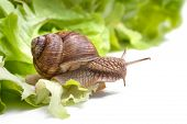 pic of garden snail  - Slug in the garden eating a lettuce leaf - JPG