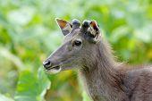 Sambar Deer Rusa Unicolor