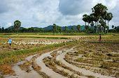 Child Labour Graze Duck On Rice Field