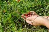 Hand Palm Gather Pick Wild Strawberry In Meadow