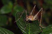 A Close Up Of Bush Cricket On Green Leaves