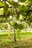 Raw grapes hanging on vineyard awaiting to be ripe
