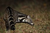 picture of omnivore  - A Large Indian Civet finding the food at night time in Thailand - JPG