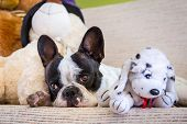 French bulldog lying with his teddy bears