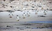 Six Gento Penguin On The  Beach