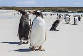 Two Gento Penguins Close-up In The Falkland Islands