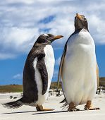 Two Gento Penguins At Falkland Islands.
