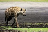 Hyena Walking on Liuwa Plains, Zambia, Africa
