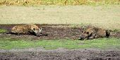 Two Hyenas Relaxing and Sunbathing on Liuwa Plains, Zambia, Africa