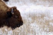 Bison On Snowy Prairie