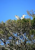 Grey herons, ardea cinerea, in a tree