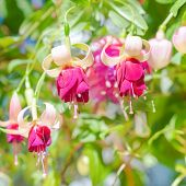 Blossoming Red And White A Fuchsia Flower Outdoor Background, `mood Indigo`, Closeup