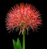 Fireball Lily Or Blood Lily