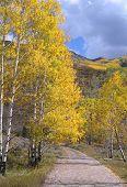 Autumn Aspens Along Road