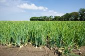 Dutch Farmland With Onions