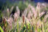 Field spikelets, outdoors