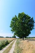 Wheat Field With Single Tree And Road