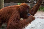 Bornean Orangutan  - Pongo Pygmaeus