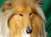 Collie Red-head