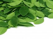 picture of malunggay  - Close up of Moringa leaves over white background - JPG
