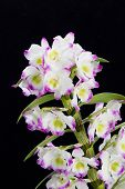 Dendrobium Orchid hybrids flowers . Isolated on black