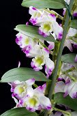 Dendrobium Orchid hybrids flowers. Isolated on black