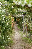 The romantic alley-way in the pergola from roses.
