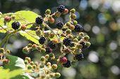 Himalayan Blackberries - Rubus Armeniacus