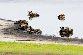 picture of mud pack  - Six Wild Dogs Cooling Down in a Shallow Pond - JPG