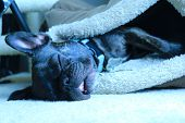 Adorable brindle french bulldog sleeping with mouth open