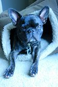 image of squinting  - Brindle french bulldog squinting into the camera with her head slightly cocked to the right looking directly into the camera while in her dog bed as the sun shines on her face - JPG
