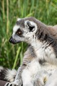 Portrait Of A Ring-tailed Lemur