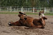 Funny Brown Horse Rolling On The Ground