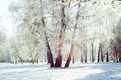 Three Birch Trunk In The Snow