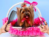 pic of grooming  - Yorkshire terrier grooming at the salon for dogs - JPG