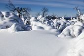 stock photo of laplander  - Trees covered with snow in Finnish Lapland - JPG