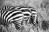 Close up of zebra rear ends in Africa
