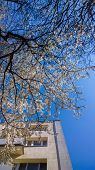 Spring cherry blossoms tree, blue sky and apartment building