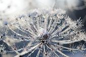 Umbelliferous Plant Cow-parsnip In Winter In Rime Frost