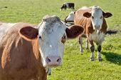 Curious Cows