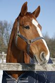 pic of thoroughbred  - Headshot of a beautiful thoroughbred horse in winter pinfold under blue sky - JPG