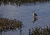 picture of greater antilles  - Greater Yellowlegs spotted in Heron - JPG