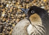 foto of pecker  - Hawaiian Goose spotted outdoors in London UK - JPG
