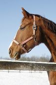 Side View Portrait Of Nice Purebred Horse Winter Time