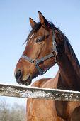 Portrait Of Nice Purebred Horse Winter Corral Rural Scene