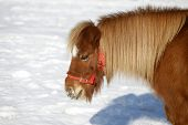 Beautiful Pony Horse Portrait In Winter Meadow