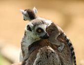 Mother Ring Tailed Lemur