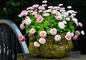 Bellis perennis in stone pot
