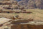 Goats In Petra, Jordan