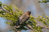 pic of juniper-tree  - Cedar Waxwing feeding on berries in a Juniper Tree - JPG